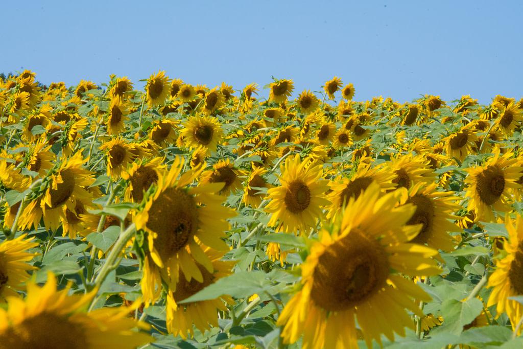 Living things like sunflowers react to stimuli like light.