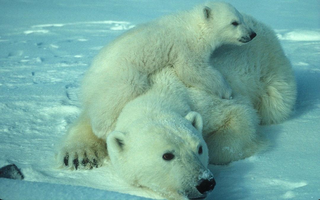 https//pixabay.com/en/polar-bear-mother-cub-white-arctic-710165/