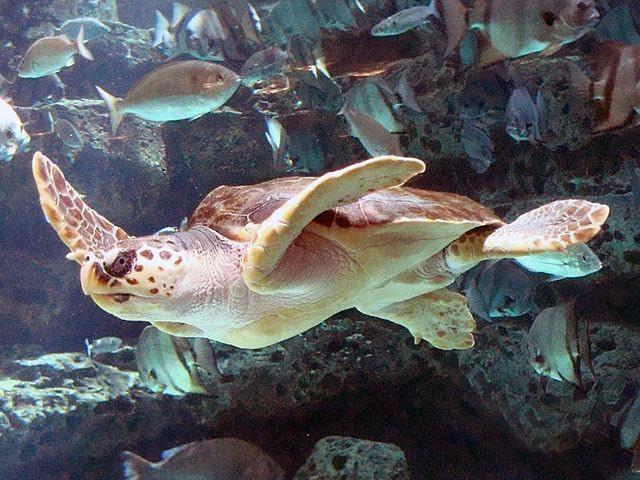 https//upload.wikimedia.org/wikipedia/commons/4/44/Loggerhead_Sea_Turtle_mirror_image.jpg
